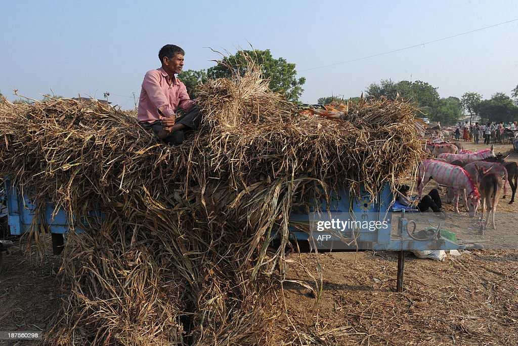 An Indian farmer sells hay during this year's donkey fair at Vautha village, some 50 kms from Ahmedabad, on November 10, 2013. Vautha is a trading centre for donkeys and camels during the annual Vautha Fair where thousands of donkeys are brought in from various states of India. AFP PHOTO / Sam PANTHAKY