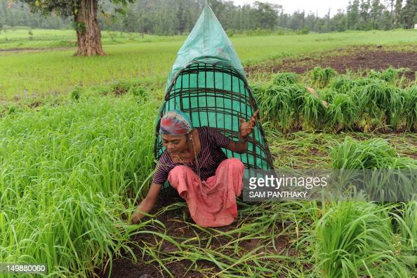 An Indian farmer shields herself from rains as she works in a field near Ahwa town some 375 kms from Ahmedabad on August 5 2012 This year's monsoon...