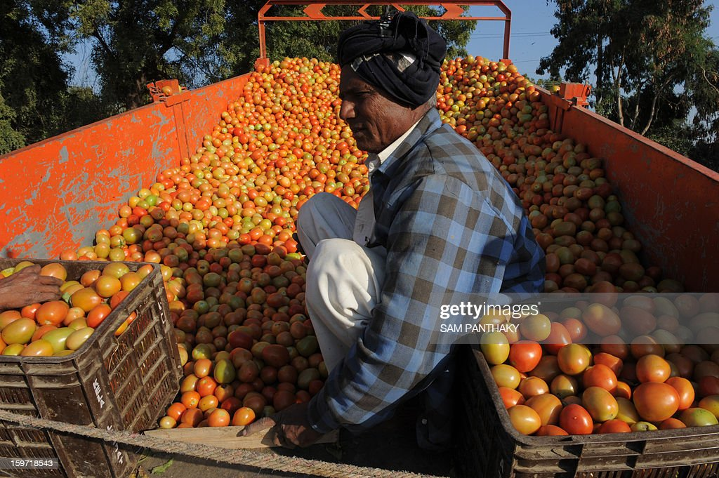 An Indian farmer sorts tomatoes near Medha village of Kadi Taluka, some 35 kms. from Ahmedabad, on January 19, 2013. The export of tomatoes from India to Pakistan have been affected following the tense border situation between the two countries. AFP PHOTO / Sam PANTHAKY