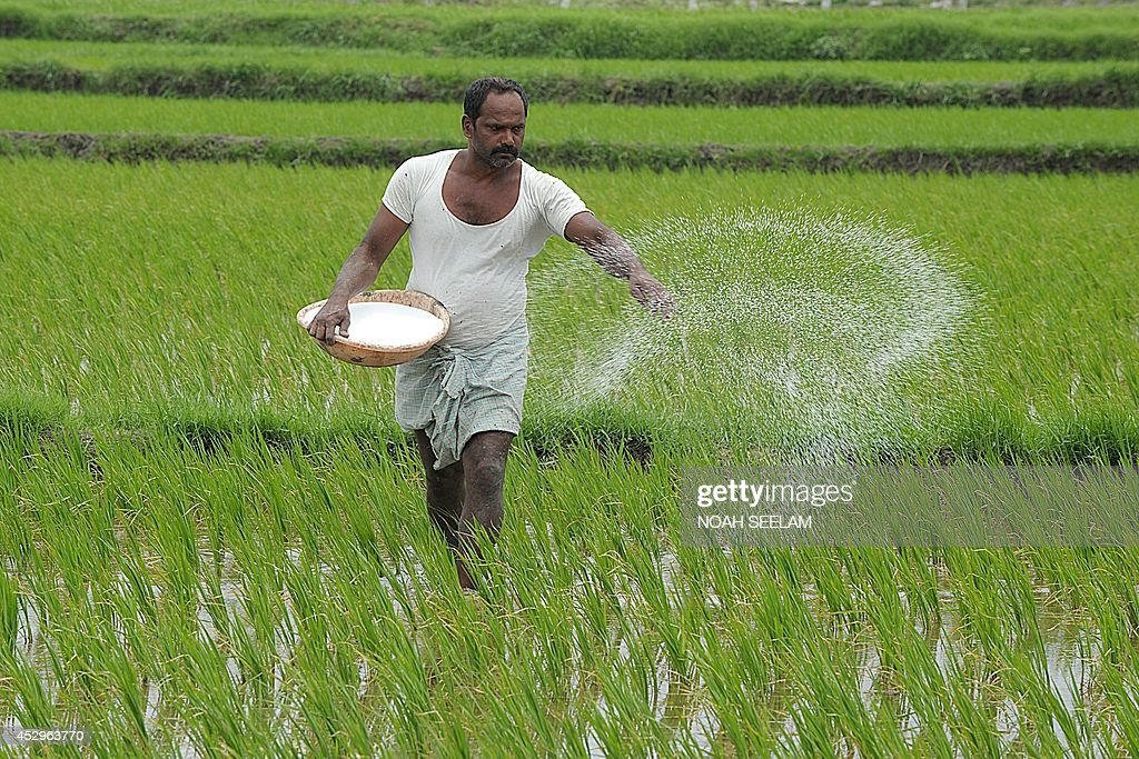 An Indian farmer sprays fertilizer in the paddy fields at Medak district, some 60 kilometers from Hyderabad on July 31, 2014. The Indian economy, which is still considered as an agriculture economy, is dependent on the amount of monsoon rains as a large part of the agricultural produce comes from the monsoon fed crops. India received nearly 35 percent below average rain fall since the start of monsoon season (June to September) and due to this the rice planting is 18 percent lower compared to the same period 2013, according to official sources. AFP PHOTO/NOAH SEELAM