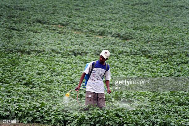 An Indian farmer sprays pesticide onto a field in Naxalbari some 35 km from the Indian city of Siliguri 23 January 2008 Indian agriculture is heading...