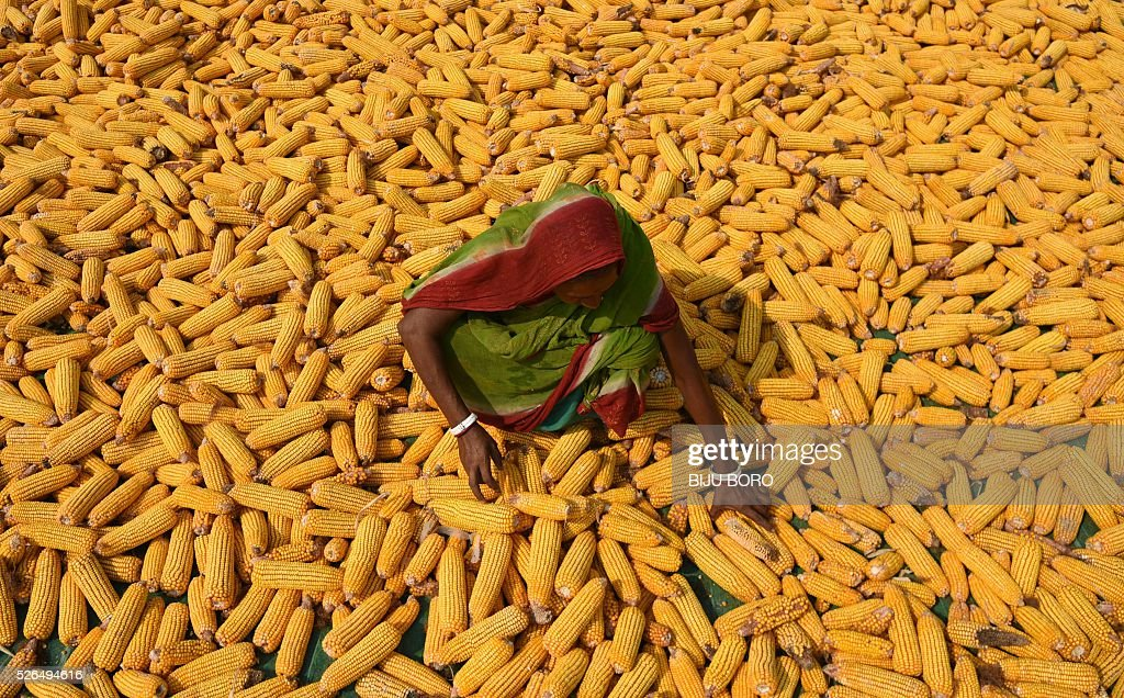 An Indian farmer spreads maize husks to dry in a field in Morigaon district, some 70kms east of Guwahati on April 30, 2016. Maize is India's third most important cash crop after wheat and rice. / AFP / Biju BORO