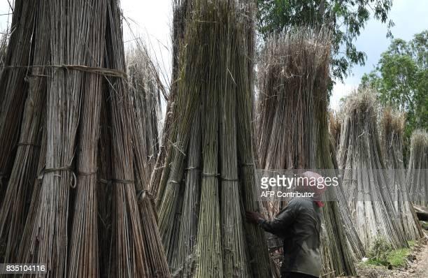 An Indian farmer stacks stalks of freshly harvest jute at Krishnanagar in Nadia District some 130kms east of Kolkata on August 18 2017 Jute is one of...