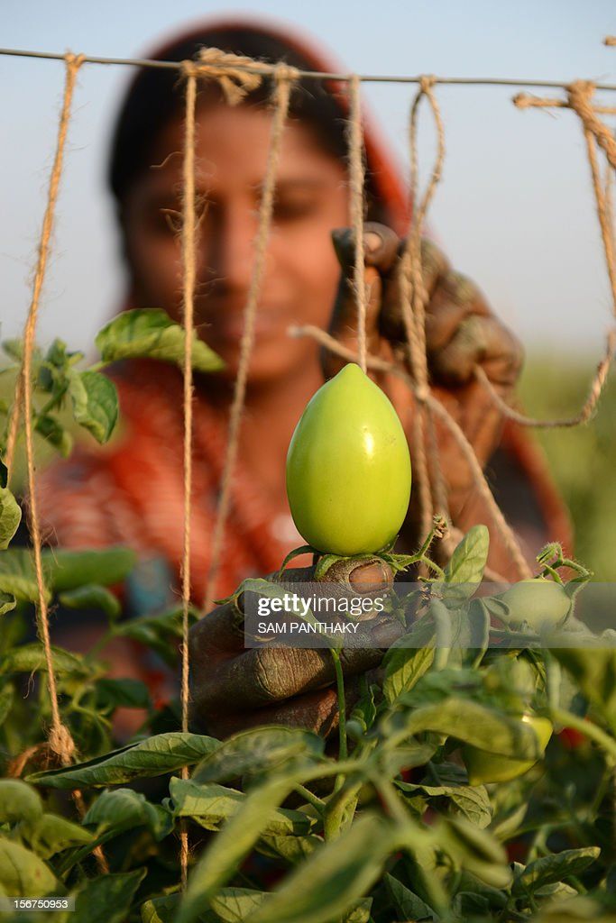 An Indian farmer ties support strings for her tomato crop at Chandanpura village of Kadi Taluka, some 35 kms from Ahmedabad, on November 20, 2012. India commands over two per cent of the Earth's land area and about four per cent of its fresh water resources, but feeds about 17 percent of its population, putting tremendous pressure on natural resources. AFP PHOTO / Sam PANTHAKY