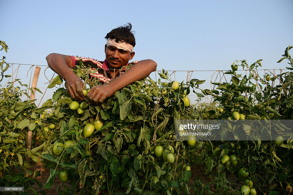 An Indian farmer ties support strings for his tomato crop at Chandanpura village of Kadi Taluka, some 35 kms from Ahmedabad, on November 20, 2012. India commands over two per cent of the Earth's land area and about four per cent of its fresh water resources, but feeds about 17 percent of its population, putting tremendous pressure on natural resources. AFP PHOTO / Sam PANTHAKY