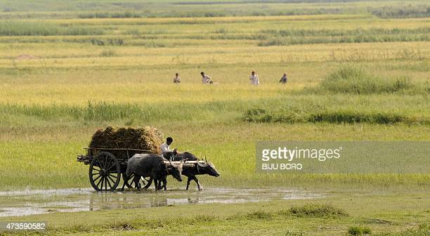 An Indian farmer transports harvested paddy on a bullockcart from a paddy field at Burha Mayong village on the outskirts of Guwahati the capital city...