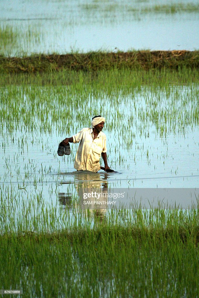 An Indian farmer wades through a flooded paddy field in Varna village, some 90 kms from Ahmedabad on September 20, 2008. Rescue workers evacuated some 27 truck drivers and their assistants from floodwaters along the Pipli-Fedra highway. AFP PHOTO/ Sam PANTHAKY