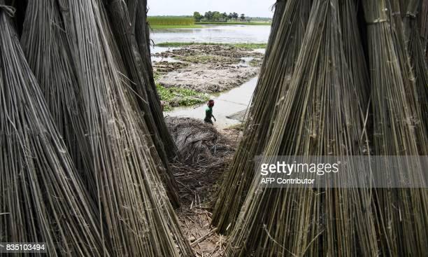 An Indian farmer walks beside stalks of freshly harvest jute at Krishnanagar in Nadia District some 130kms east of Kolkata on August 18 2017 Jute is...