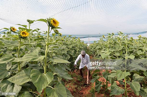 An Indian farmer works in a sunflower field on the outskirts of Bangalore on February 29 2016 Accounting for as much as 178 per cent of Indias Gross...
