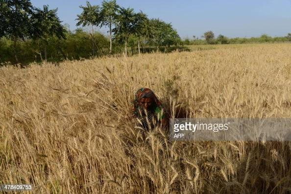 An Indian farmer works in a wheat field at Dhamasana village of Kalol Taluka some 40 kms from Ahmedabad on March 13 2014 Over 70 percent of Indians...