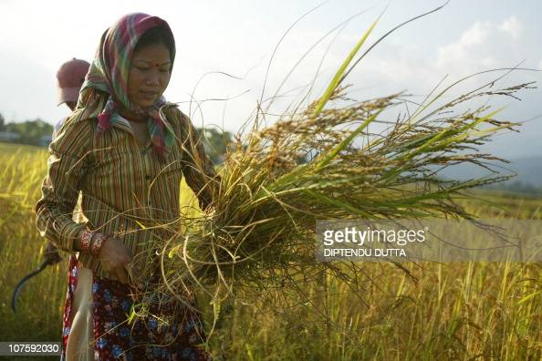 An Indian farmer works on a rice paddy field in the Milanmore village area in the outskirts of Siliguri on November 3 2008 Rice is an important...