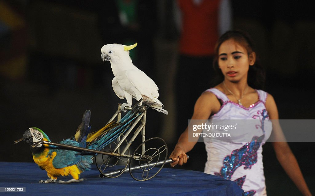 An Indian female performer controls birds during a show at the Kohinoor Circus in Siliguri on January 14, 2013. The Kohinoor Circus, inaugurated in 1988, is one of the most popular as it travels throughout India. At present, there are only ten circuses still active in India whereas in the first half of the 20th century, there were as many as 50 circuses touring the country. AFP PHOTO/ Diptendu DUTTA