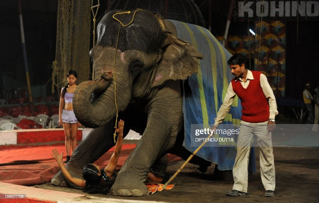 An Indian female performer slides under an elephant during a show at the Kohinoor Circus in Siliguri on January 14, 2013. The Kohinoor Circus, inaugurated in 1988, is one of the most popular as it travels throughout India. At present, there are only ten circuses still active in India whereas in the first half of the 20th century, there were as many as 50 circuses touring the country. AFP PHOTO/ Diptendu DUTTA