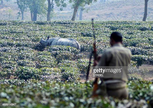 An Indian forest guard looks on as a onehorned rhinoceros walks through a tea garden at Cikoni Borhola village near the Kaziranga National Park in...