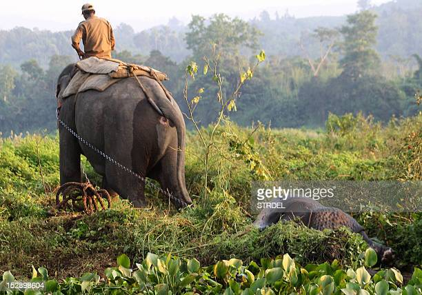 An Indian Forestry Department official riding an elephant pulls away the carcass of a rhino killed by poachers at Bagori range in Kaziranga National...