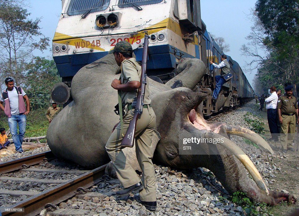 An Indian forestry worker walks past the body of a tusker elephant after it was struck by a train at the Buxa Tiger Reserve, some 12 kms from Alipurduar on March 5, 2013. The adult tusker was killed by the speeding Guwahati-bound Somporkkranti Express inside the Buxa Tiger Reserve in West Bengal. AFP PHOTO