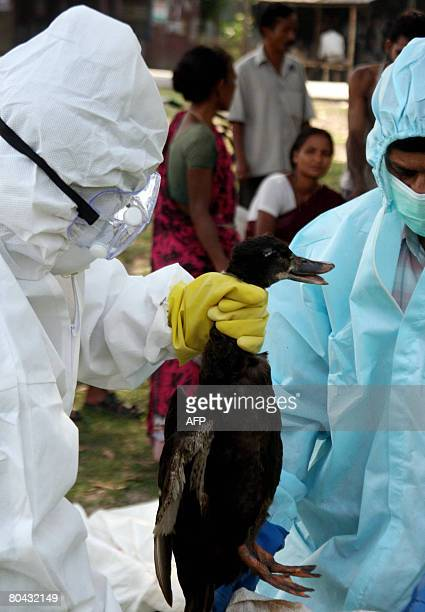 An Indian health worker wrings the neck of a duck during a cull after an outbreak of bird flu at the village of Aaraitaki some 91 kms from Siliguri...
