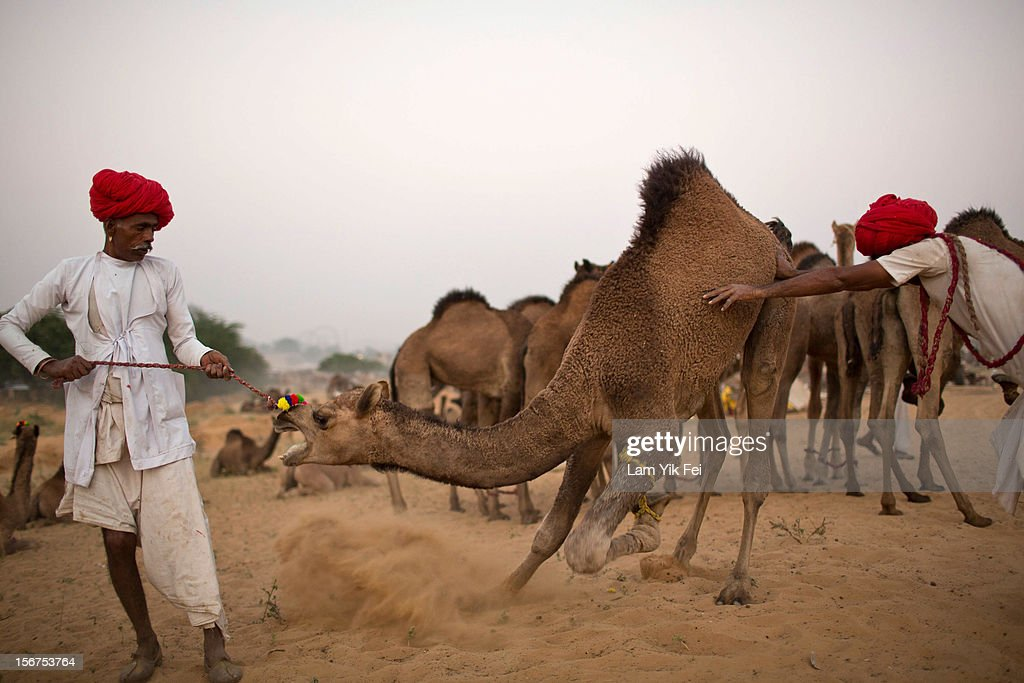 An Indian herder pulls a camel during a camel fair on November 19, 2012 in Pushkar, India. The annual camel and livestock fair is held over five days, and attracts thousands of tourists.