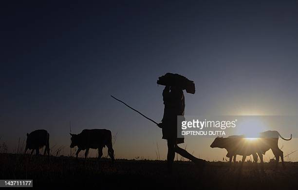 An Indian herder walks with his cows during sunset at Milanmore village on the outskirts of Siliguri on November 23 2011 Nearly twothirds of India's...
