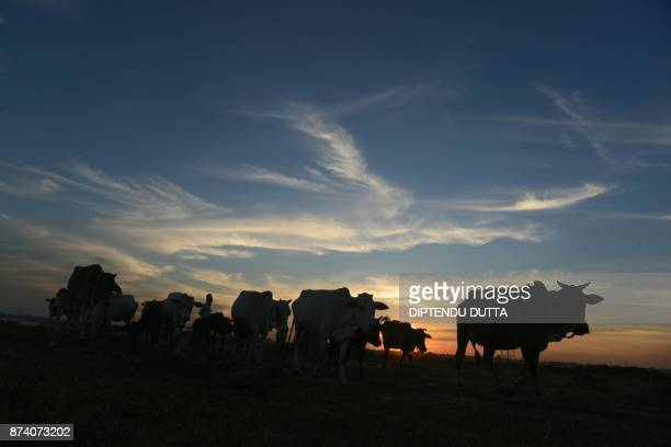 An Indian herder walks with his cows during sunset on the outskirts of Siliguri on November 14 2017 / AFP PHOTO / DIPTENDU DUTTA