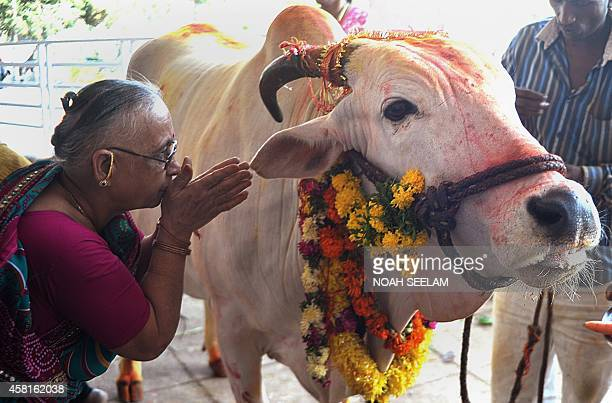 An Indian Hindu devotee offers prayers to a sacred cow on the eve of Gopastami in Hyderabad October 31 2014 The Gopastami festival which commemorates...