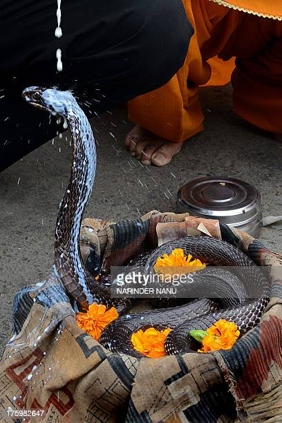 An Indian Hindu devotee pours milk over a cobra snake outside a temple in Amritsar on August 11 during the Hindu festival of Nag Panchami The...