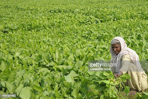 An Indian labourer harvests spinach in a field on the outskirts of Amritsar on November 18 2014 An explosion of workingage people in India could...