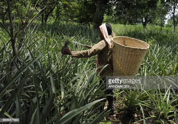 An Indian labourer plucks freshly harvested pineapples from an orchard on the outskirts of Agartala the capital of northeastern state of Tripura on...
