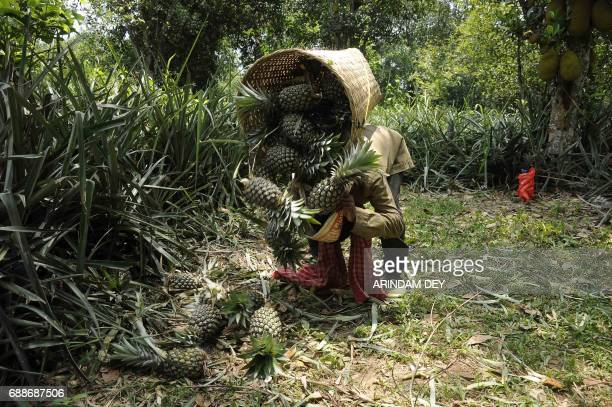 An Indian labourer stacks piles of freshly harvested pineapples plucked from an orchard on the outskirts of Agartala the capital of northeastern...