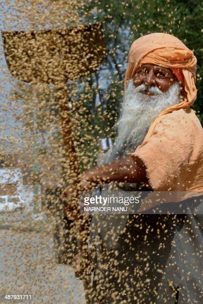 An Indian labourer uses a shovel to separate grains of wheat from the husk at a grain distribution point on the outskirts of Amritsar on May 3 2014...