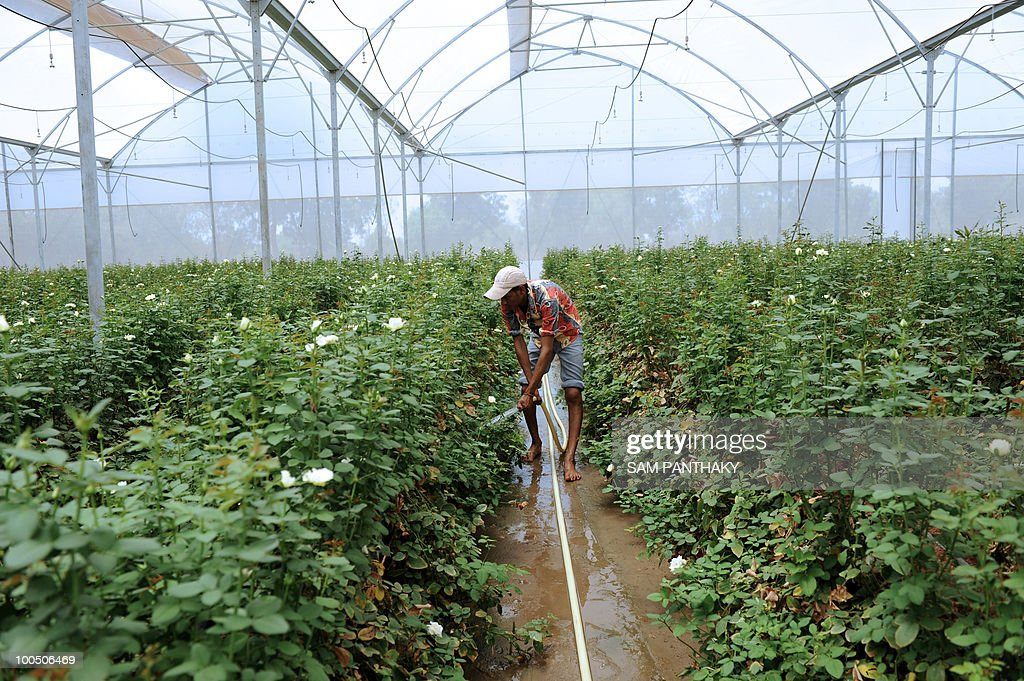 An Indian labourer waters Dutch roses at Vandan Floritech greenhouse in the village of Kasindra, some 25 kms. from Ahmedabad on May 25, 2010. Vandan Floritech has two greenhouses of one acre each built with technology and automation from an Israel based company. A temperature of 38 degrees Celcius is maintained in the greenhouses where some 900,000 roses are produced in each every year using The Reverse Osmosis (RO) system of watering. AFP PHOTO/Sam PANTHAKY