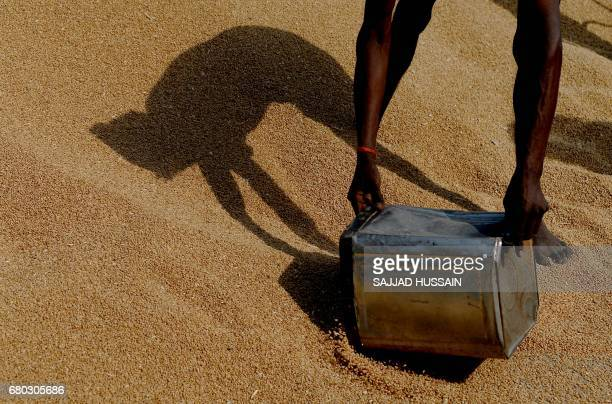 An Indian labrourer casts a shadow as he gathers wheat grains from a thresher at a wholsale market in Chandigarh on May 7 2017 / AFP PHOTO / SAJJAD...