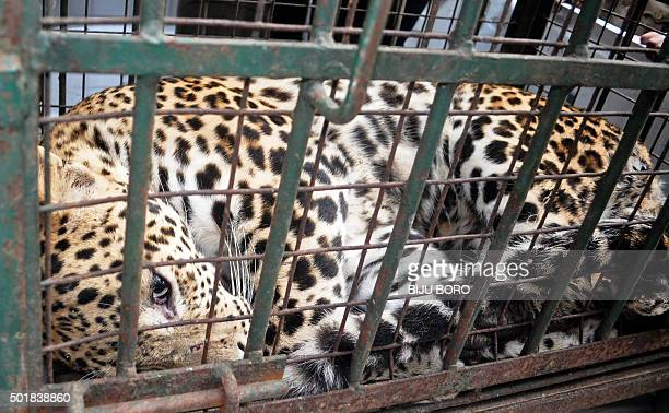 An Indian leopard lays in a cage after being tranquilized after attacking security personnel trying to contain it in the Maligoan area of Guwahati on...