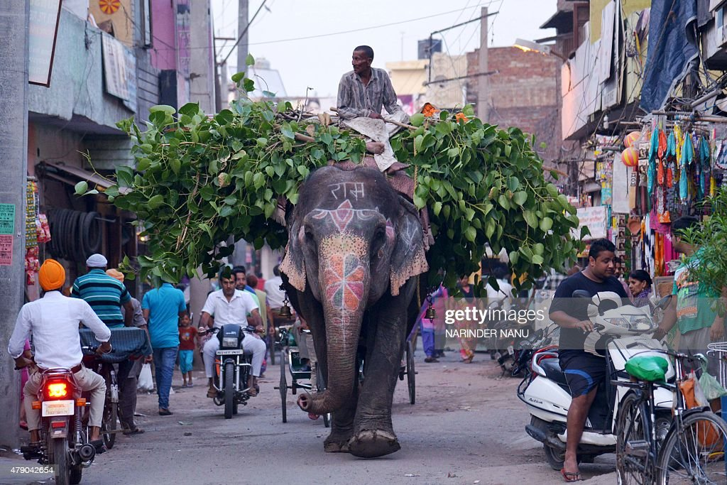 An Indian mahout uses an elephant to transport leaves along a street in Amritsar on June 30 2015 The country is home to around 25000 Asian elephants...