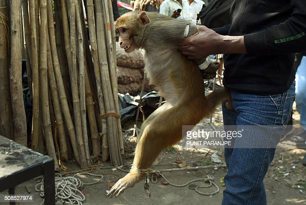 An Indian man carries a monkey towards a cage at a residential colony in Mumbai on February 5 2016 The monkey was captured by a professional after...