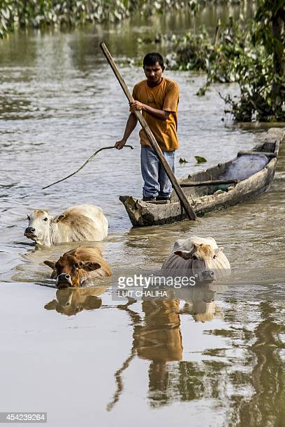 An Indian man moves his cattle to higher ground during flooding at Soraguri Chapori at Dikhowmukh in Sivasagar district of eastern Assam state on...