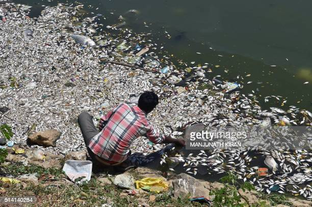 An Indian man picks a large dead fish from the water of Ulsoor Lake in Bangalore on March 7 2016 Thousands of dead fish are floating on the surface...