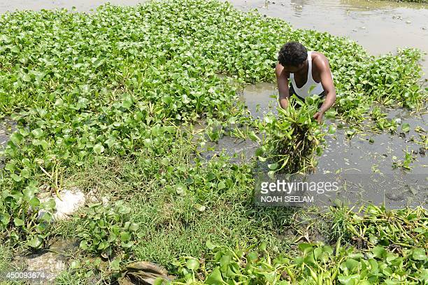 An Indian man removes water floating plants spreading on a lake in Hyderabad on June 5 2014 on World Environment Day India's cities are becoming more...