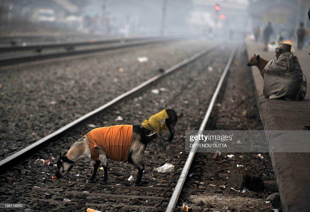 An Indian man sits as goats wearing coats roam along the railway line during a foggy and cold day at Siliguri station in Siliguri on January 8, 2013. As thousands of homeless people sought places in temporary shelters, the unusual cold in throughout India has been attributed to dense fog which has obscured the sun and disrupted airports and trains, as well as icy winds from the snowy Himalayas to the north. AFP PHOTO/Diptendu DUTTA