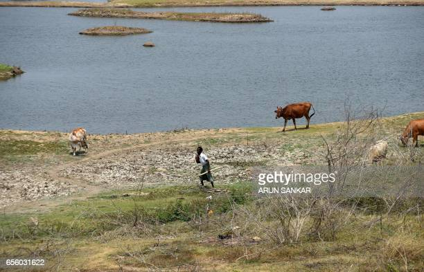 An Indian man walks with his livestock along the dried bed of a shrinking lake on the outskirts of Chennai on March 21 ahead of World Water Day World...
