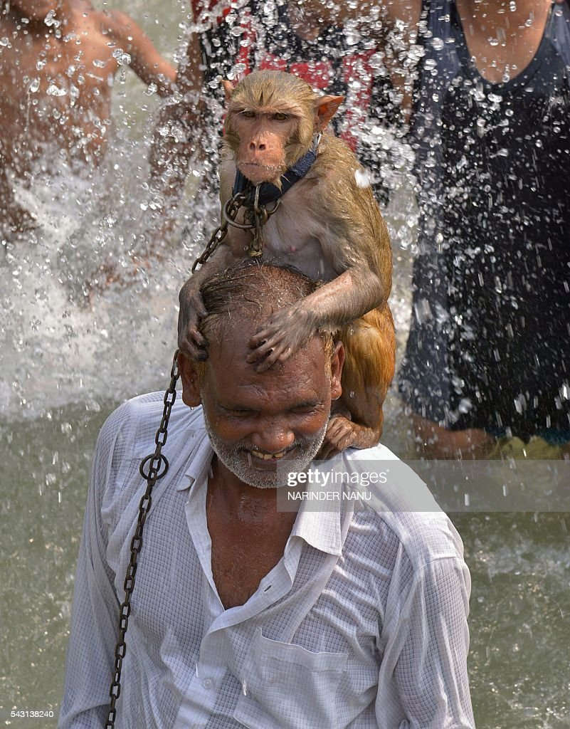 An Indian monkey sits on its wrangler's shoulders in a river on the outskirts of Amritsar on June 26, 2016. / AFP / NARINDER