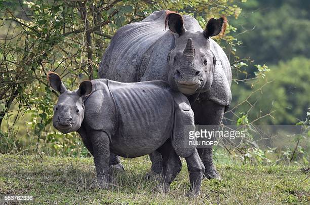 An Indian onehorn rhinoceros and her calf rest on higher land to escape flood waters at the Pobitora Wildlife Sanctuary in Morigoan district some 70...