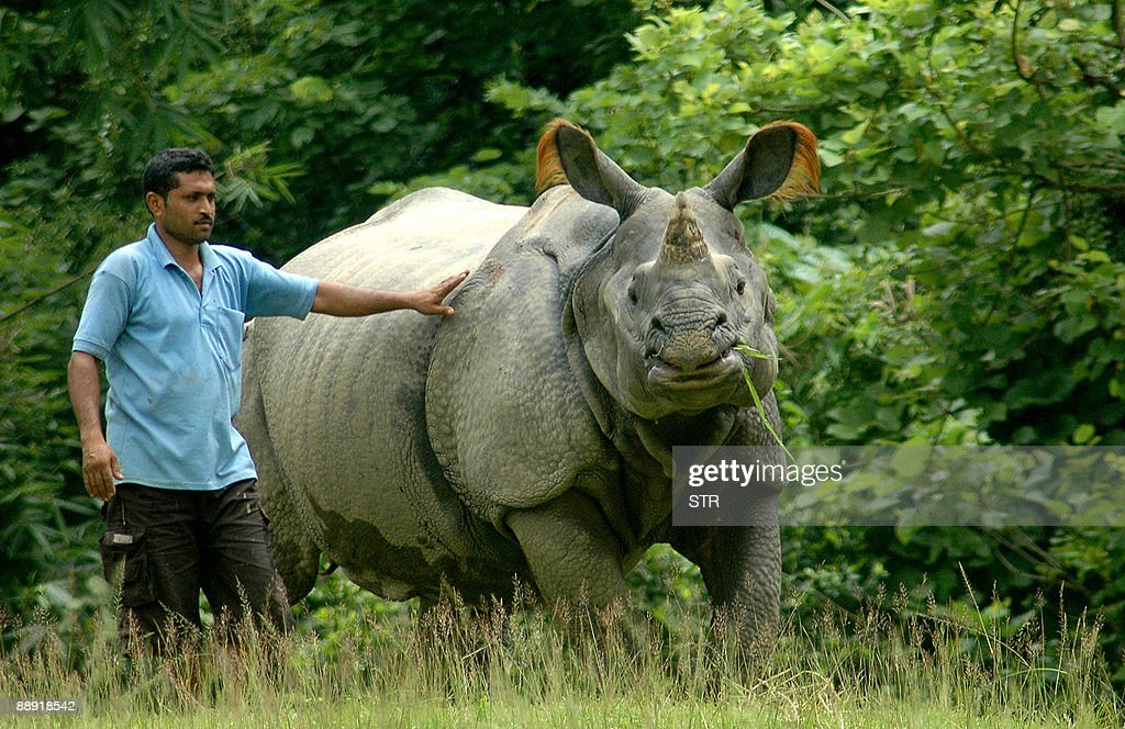 An Indian OneHorned Rhinoceros chews grass as a zoo keeper stands alongside at the Assam State Zoo in Guwahati the capital city of the northeastern...