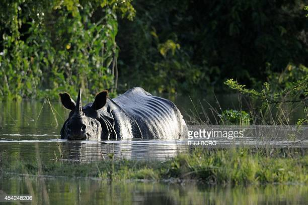 An Indian onehorned rhinoceros wades through flood waters at a submerged area of the Pobitora wildlife sanctuary in India's northeastern Assam state...