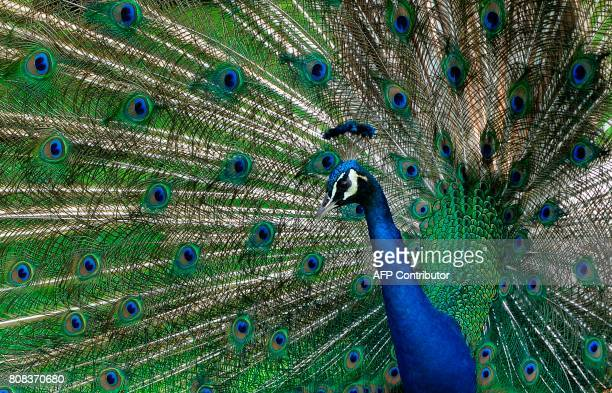 TOPSHOT An Indian Peafowl is pictured at the garden of the Museum Dolores Olmedo in Mexico City on July 4 2017 / AFP PHOTO / PEDRO PARDO