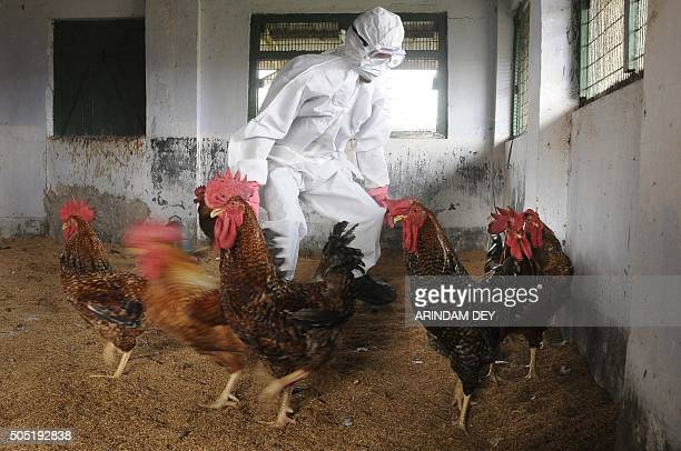 An Indian poultry farm worker attempts to catch a chicken during a culling operation after an outbreak of avian flu at a government poultry farm in...