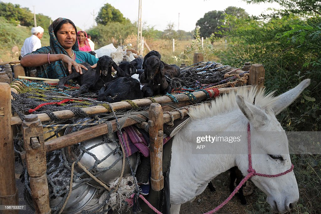An Indian shepherd tends to young goats resting over a charpoy (rope bed) while transported by a donkey near Thol village, some 25 kms from Ahmedabad, on November 20, 2012. Nearly two-thirds of India's 1.1 billion population still depend on agriculture for their livelihood. AFP PHOTO / Sam PANTHAKY