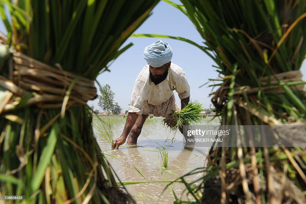 An Indian Sikh farmer plants paddy cuttings in a field on the outskirts of Amritsar in the northwestern state of Punjab on June 19, 2009. The annual summer monsoon rains are expected to arrive in first week of July in northern India.