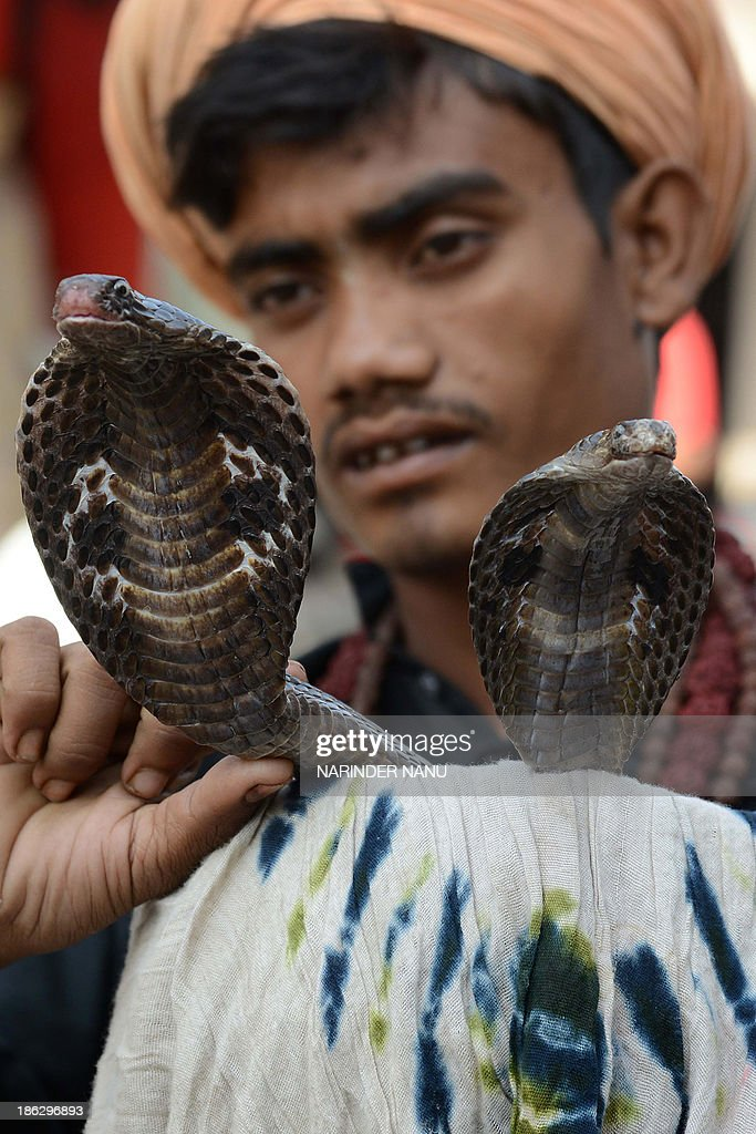 An Indian snake charmer poses with his cobras as he waits for alms from devotees outside a temple in Amritsar on October 30, 2013 ahead of the Hindu festival of Diwali. Diwali, celebrated this year on November 3, marks the victory of good over evil and commemorates the time when Hindu God Lord Rama achieved victory over Ravana and returned to his Kingdom Ayodhya after 14 years of exile.