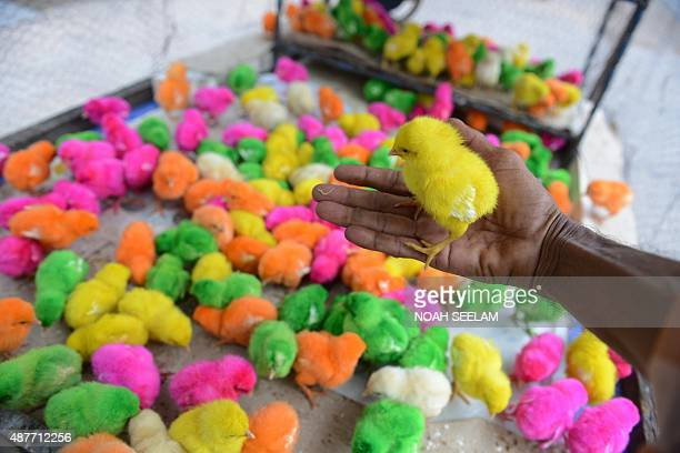 An Indian vendor poses for a photograph holding a chick as he waits for customers while selling coloured or dyed chicks for 5INR from a handcart at...